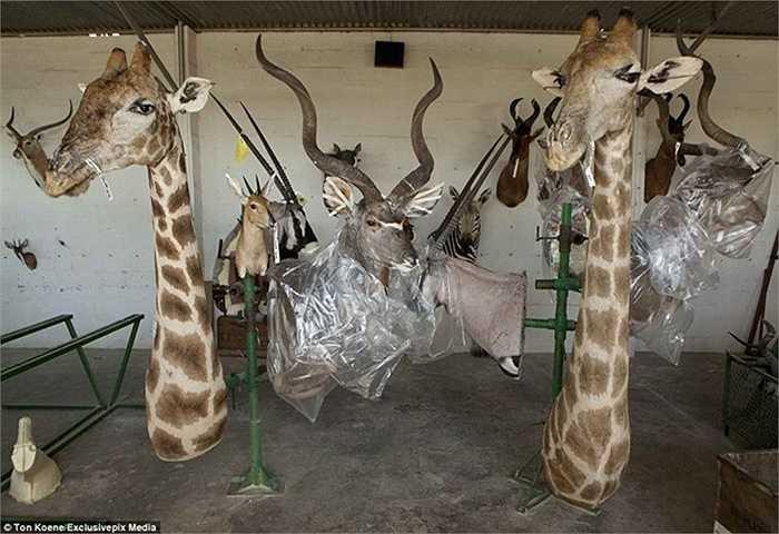 Việc kinh doanh đầu thú treo tường của nhà xưởng Louw Mel khá thuận lợi, mỗi năm họ sản xuất được khoảng 6.000 đầu thú từ các loài động vật.
