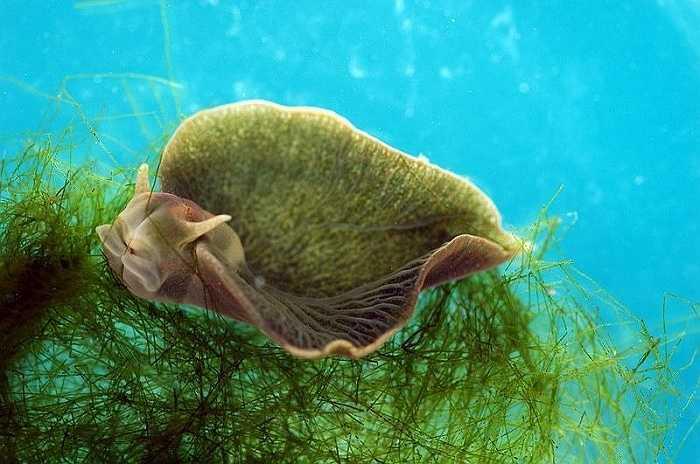 Quá trình hấp thụ diệp lục và tổng hợp dưới tác động của ánh mặt trời để nuôi dưỡng cơ thể của sên biển được gọi là kleptoplasty. Quá trình này chỉ xảy ra ở những sinh vật đơn bào.