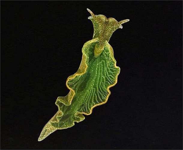 Các nhà nghiên cứu đã phát hiện ra rằng, sên biển elysia chlorotica không chỉ trộm diệp lục mà cả gen của tảo để kết hợp với ADN của chính nó. Đây là một minh chứng độc đáo và thú vị cho quá trình trao đổi gen theo chiều ngang.