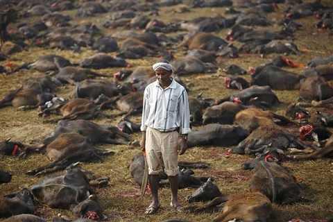 Hàng trăm nghìn động vật bị giết trong lễ hội Gadhimai