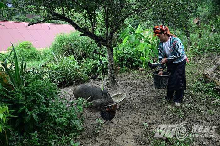 Lợn và gà của một vài gia đình may mắn được cứu sống sau trận lũ kinh hoàng.