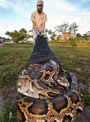 Các nhà nghiên cứu đã bắt được con trăn Miến Điện này trong khi khảo sát tại khu vực thung lũng Shark trong trong vườn quốc gia Everglades.
