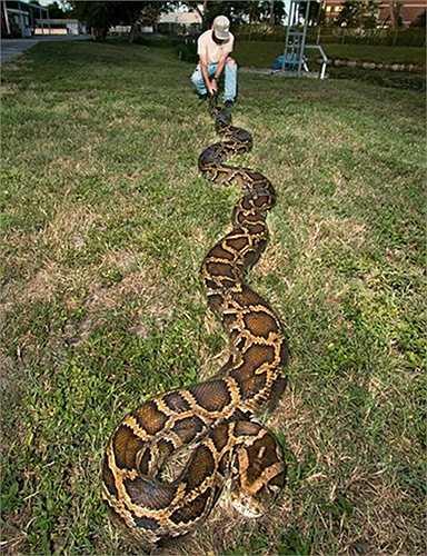 Con trăn có chiều dài 5,5 m và nặng 60kg. Con trăn Miến Điện lớn nhất từng bắt được tại bang Florida dài 5,8 m.
