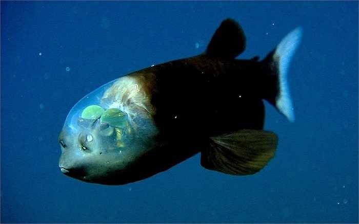 Đầu loài cá Macropinna có một mái vòm bao quanh chứa đầy chất lỏng trong suốt bên trong. Ngoài ra, mắt của cá này có thể chuyển động và thay đổi vị trí