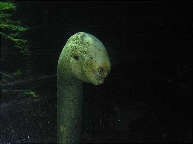 Mực Bigfin được phát hiện mới đây, khoảng giữa năm 2000, ngoài khơi bờ biển Hawaii. Các xúc tu của loài mực này được cho là lên đến gần 5m