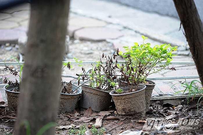 Dọc 2 bên tuyến đường Bà Triệu có khoảng 120 gốc cây cổ thụ, dưới chân các gốc cây này được trang trí bằng các chậu hoa Cúc Indo và hoa Chuỗi Ngọc, hai loài hoa được cho là rất dễ sống.