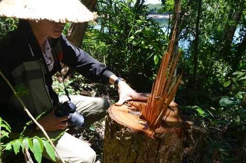 Gỗ rừng phòng hộ Phú Ninh bị lâm tặc đốn hạ - Ảnh: Lê Trung