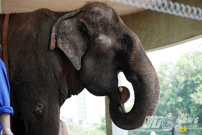 Tại đây, cả 3 cá thể voi cái này bị giới hạn trong những xích dài 1 mét - được buộc vào phần mắt cá chân.