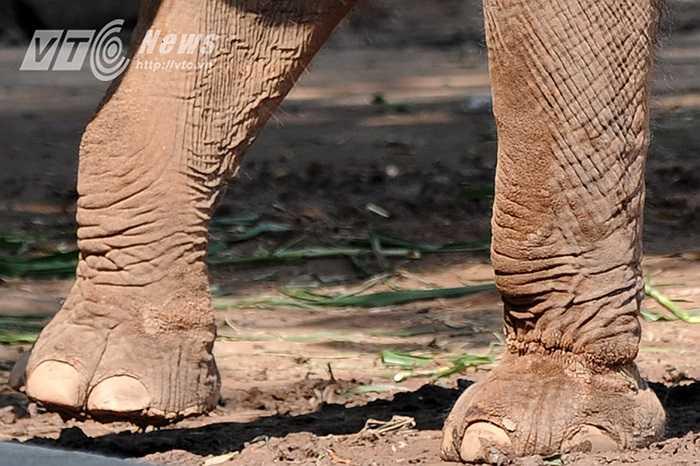 Qua nhiều năm, xích cứa vào chân voi, đến nỗi chân của chúng đã có những vết sẹo. Trong ảnh, vết sẹo lõm sâu, vết tích của việc đeo xích lâu ngày để lại trên chân trái phía trước của chú voi Banang.