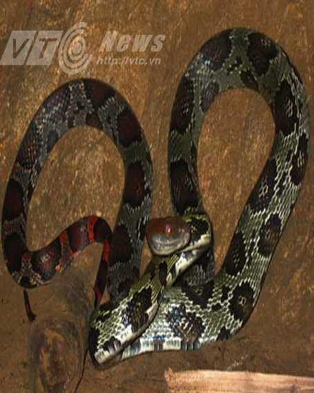 Có thể loài rắn xuất hiện ở đền Cấm là loài sọc đuôi khoang