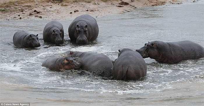 Khi 2 mẹ con hà mã lội xuống nước, ngay lập tức, đàn hà mã vây xung quanh. Chúng xông đến cắn xé mẹ con tội nghiệp