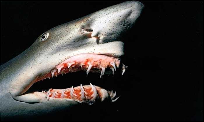 Cá mập yêu tinh    Dù được đặt tên là cá mập, sinh vật biển này trông không hề giống cá mập chút nào. Chúng là loài rất hiếm và có thể dài đến 3 mét.