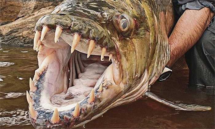 Cá hổ Goliath    Loài thú săn mồi đáng sợ này sống ở Congo. Chúng có thể dài tới 1 mét, nặng 50kg và luôn sẵn sàng ăn mọi sinh vật lọt vào tầm ngắm.
