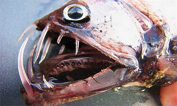 Cá rắn lục    Cá rắn lục không có nhiều răng, nhưng mỗi chiếc răng đều vô cùng sắc nhọn. Loài sinh vật biển này có kích thước khá nhỏ nên phần lớn nạn nhân bị nó cắn có cơ may sống sót.