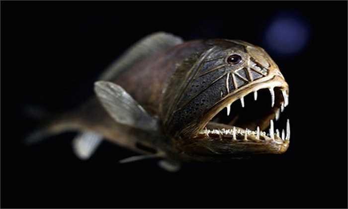 Cá răng nanh    Loài cá này có cùng tên gọi với con cá chình ở trên bởi nó cũng sở hữu những chiếc răng nhọn không kém.