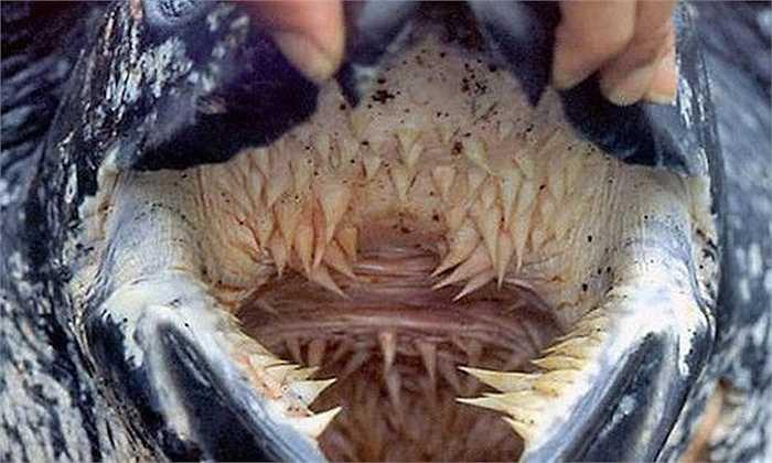 Rùa da    Bạn có thể không tin hàm răng trong hình thuộc về một con rùa nhưng đó là sự thật. Rùa da có thể dài hơn 2 mét, bởi vậy những chiếc răng của chúng cũng không hề nhỏ.