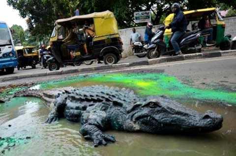Trước đó, người ta đã dùng cá sấu để gây ảnh hưởng