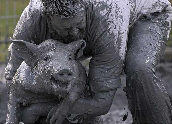Lễ hội 'bắt lợn trong bùn lầy' lần thứ 37, được tổ chức thường niên ở Canada. Trong lễ hội, các thí sinh có nhiệm vụ bắt  lợn trong đống bùn lầy lội rồi thả chúng vào những chiếc thùng