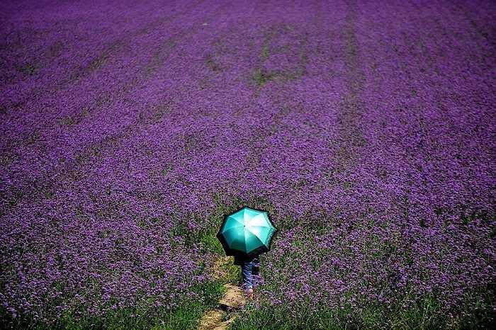 Cánh đồng hoa oải hương đầy sắc tím trong một công viên ở Thẩm Dương, Liêu Ninh, Trung Quốc