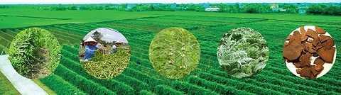 Dự án phát triển vùng dược liệu bền vững theo tiêu chuẩn GACP-WHO đang triển khai tại Nam Định, Hà Giang