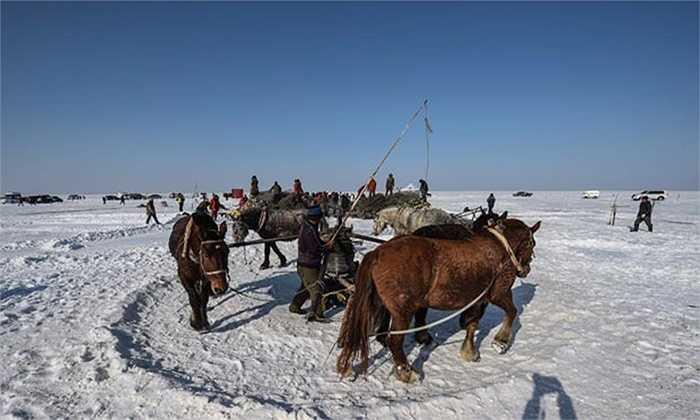 Đàn ngựa kéo lưới của ngư dân