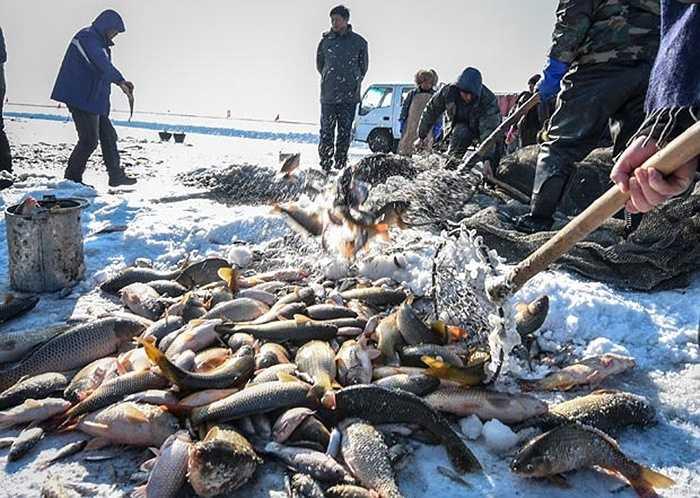 Những con cá nằm trong lưới được thu lên