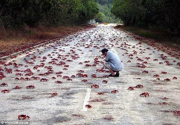 Hàng trăm chú cua đỏ được chăm sóc trên hòn đảo Christmas tạo nên cảnh tượng thật sự tuyệt vời