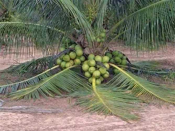 Loài dừa cho quả dù cho thân mới chỉ cách đất vài chục cm
