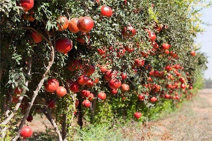 Vườn lựu chi chít quả
