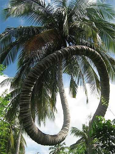 Thân dừa uống như cây cảnh