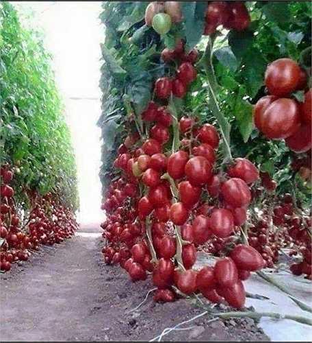 Chùm cà chua siêu sai quả
