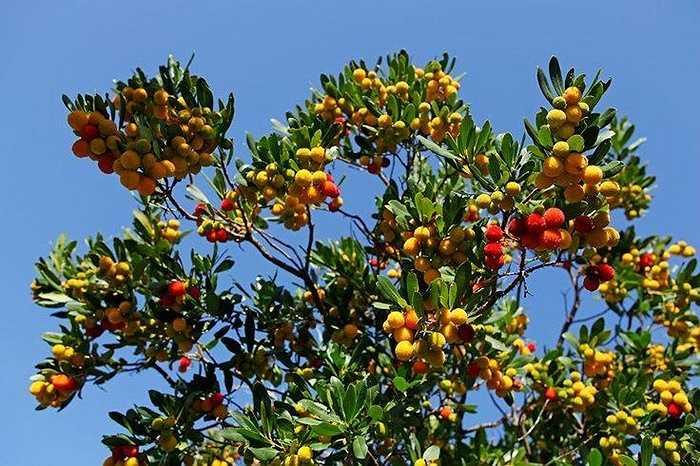 Loài quả có màu sắc tươi sáng trên ngọn cây