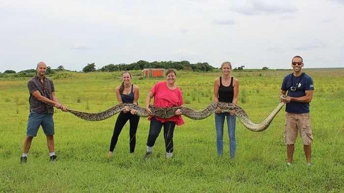 Thậm chí có tài liệu từng ghi nhận phát hiện có cá thể nặng tới 181 kg và chiều dài 8,2m được tìm thấy ở Công viên Serpent Safari, bang Illinois nước Mỹ. Tuy nhiên sau khi con mãng xà trên qua đời, kỷ lục thế giới loài rắn khổng lồ vẫn ghi nhận chiều dài 18m là cực đại. Loài mãng xà Miến Điện từng sinh sống ở Florida Everglades, tuy nhiên ngày nay chúng gần như biến mất vì bị săn bắt lấy thịt. Ảnh: Con mãng xà Miến Điện dài 5,5m ở Florida Everglades.