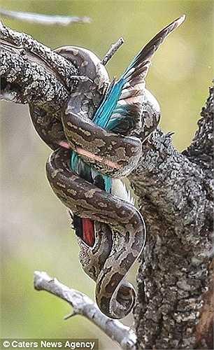 Cách làm này khiến cho con chim bói cá nghẹt thở do bị siết chặt, mà không thể dùng chiếc mỏ cắn trúng con trăn