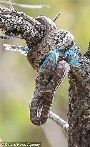 Con chim bói cá sở hữu chiếc mỏ dài, nhọn là nỗi sợ của con trăn nhưng nó bị hạ gục do sức siết quá chặt