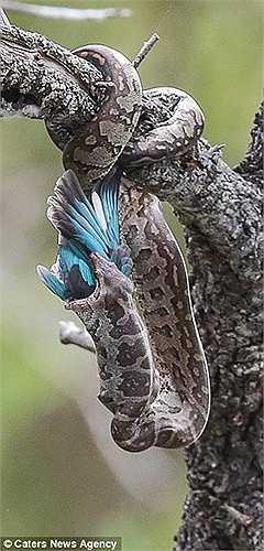 Khi con chim bói cá đã chết, con trăn từ từ thả mình xuống và uốn cái miệng lên cao để nuốt con mồi