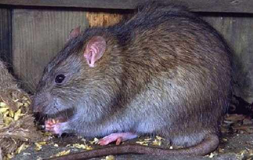Chuột cắn người tử vong.