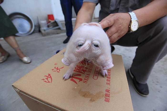 Hiện chú lợn dị dạng này đang được nuôi bằng sữa bình.