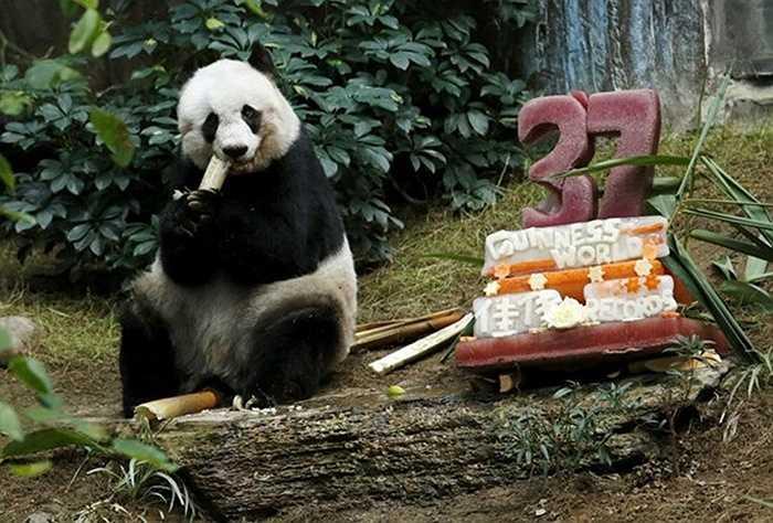 Gấu trúc Jia Jia lập kỷ lục sống lâu nhất trong điều kiện nuôi ở sở thú. Nó vừa chào sinh nhật lần thứ 37 tại Hong Kong ngày 28/7