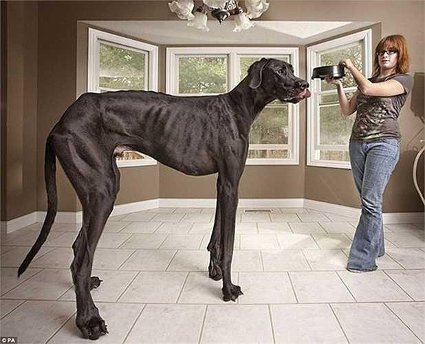 Zeus lập kỷ lục là con chó cao lớn và dài nhất thế giới