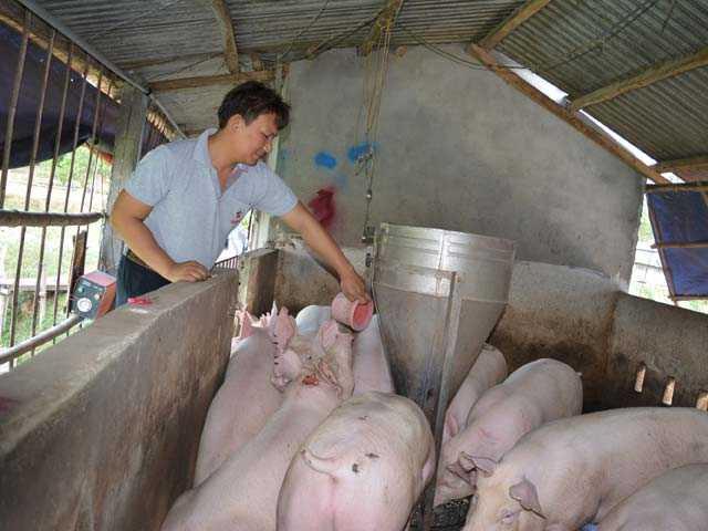 Bỏ lương 30 triệu về nuôi lợn