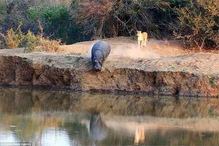 Con hà mã bị đàn sư tử truy đuổi