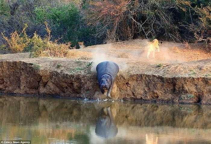 Con hà mã đã quyết định chạy tới gần sông và sau đó lao xuống nước