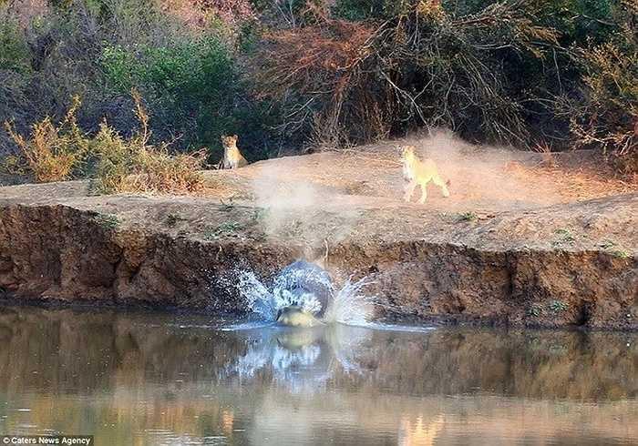 Hai con sư tử ngán ngẩm nhìn chú hà mã chạy thoát