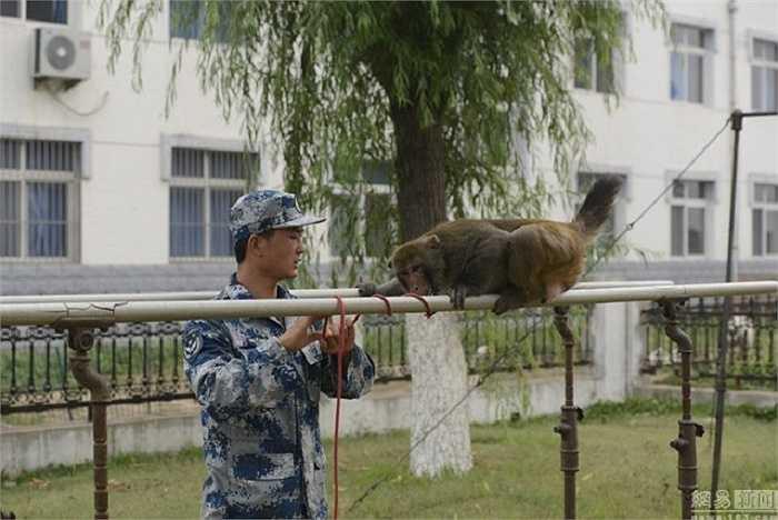 Không quân Trung Quốc đã nghĩ ra cách huấn luyện khỉ để đuổi chim