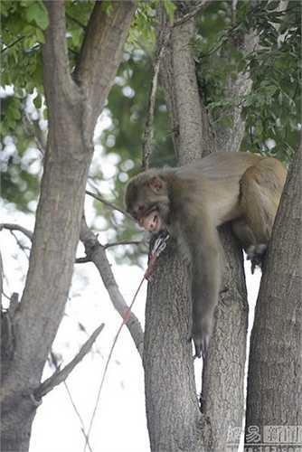 Điều này thực sự là một việc đơn giản đối với loài khỉ thích leo trèo