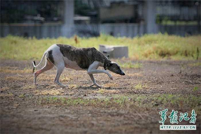 Chó được huấn luyện để đánh hơi, săn lùng dấu vết của những con chim