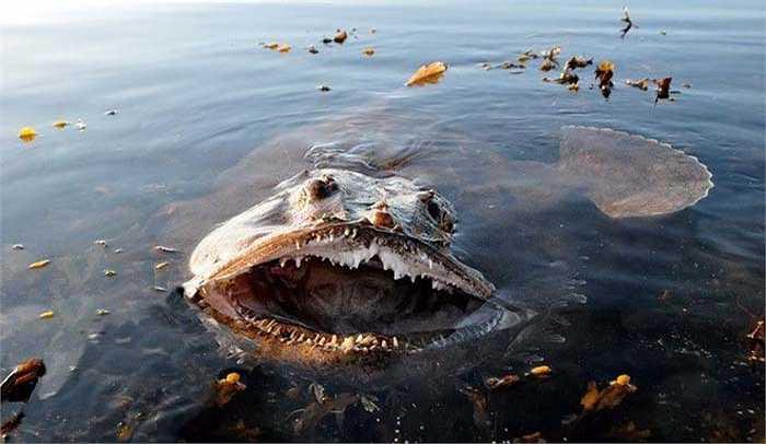 Cá monkfish (cá chày) có cái miệng rộng khiến người đối diện cảm thấy khá ghê sợ. (Nguồn: Getty)