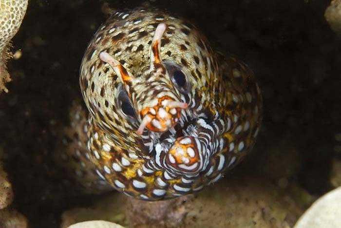 Lươn biển có vẻ ngoài đáng sợ nhưng kỳ thực nó lại là sinh vật khá nhút nhát, sống khép kín. (Nguồn: Getty)