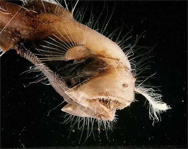 Cá Anglerfish là loài cá rất quý hiếm. Người ta chỉ thấy chúng xuất hiện ở những vùng nước sâu ở Đại Tây Dương, Thái Bình Dương và Ấn Độ Dương. (Nguồn: Peter David)
